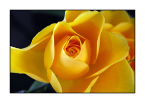 DSC_0129-acs-yellow-rose-4630002