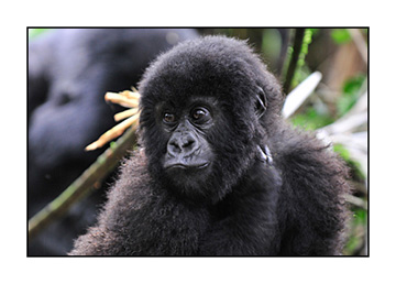 _DSC8089-gorilla-adjusted-with-layers-11x14102